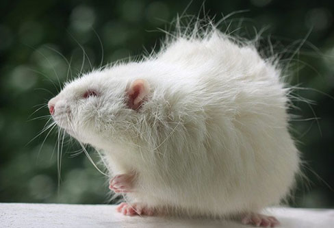 Long Haired Rat pest control