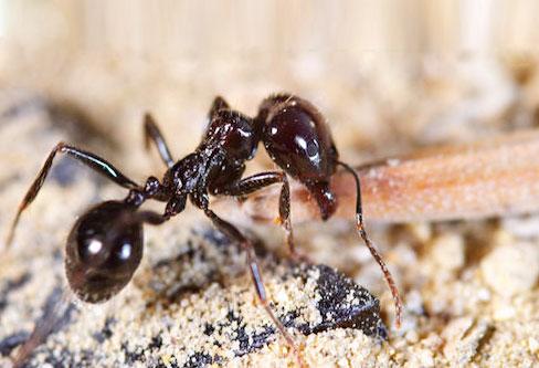 Little Black Ants pest control