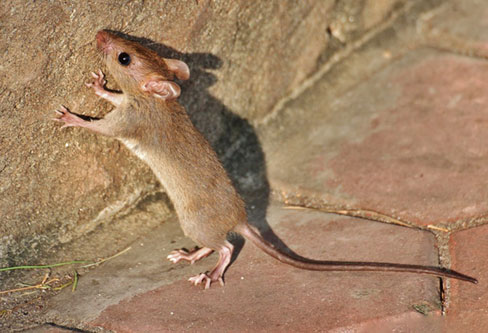 Malayan Field Rat pest control