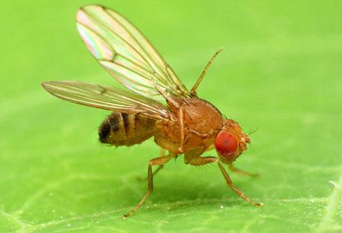 Fruit flies pest control
