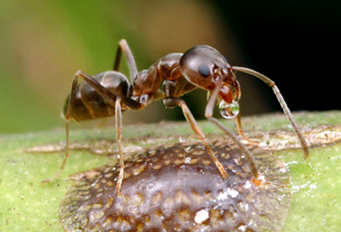 Argentine Ants pest control