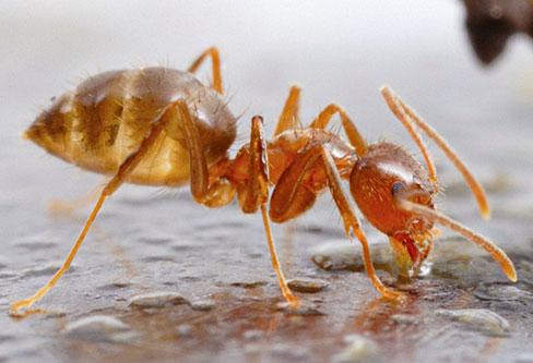 Crazy Ants pest control