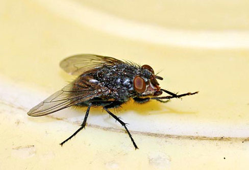 House Flies pest control