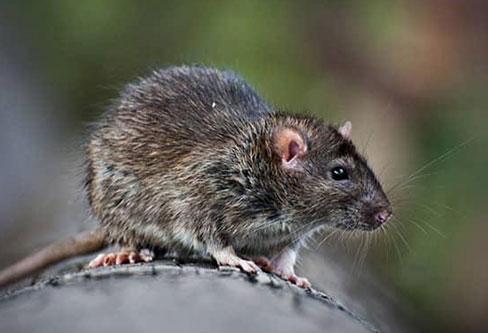 Palm Rat pest control