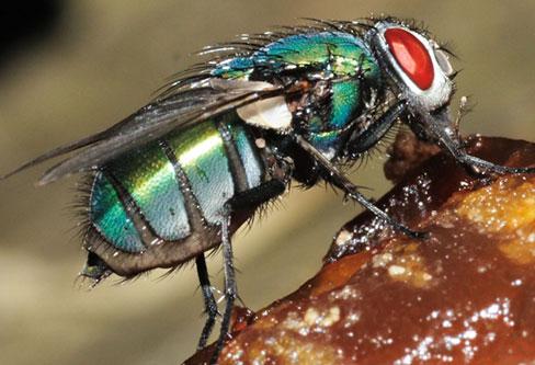 Bottle Flies pest control