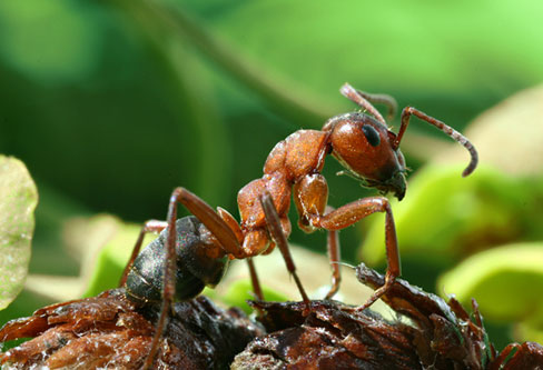 Formica Rufa Ants pest control