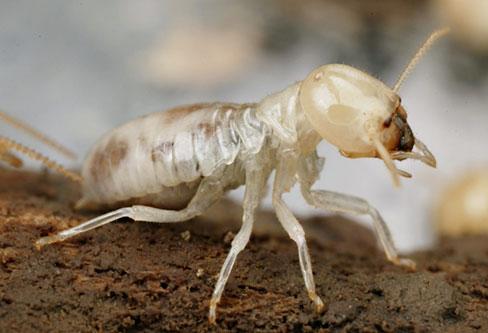 White Ants pest control