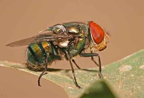 Blow Flies pest control service