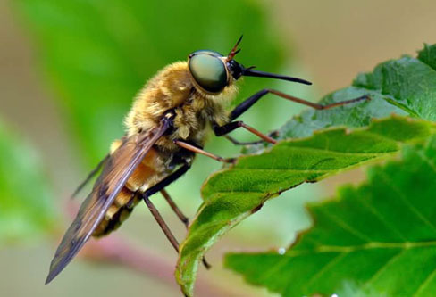Horse Flies pest conrol