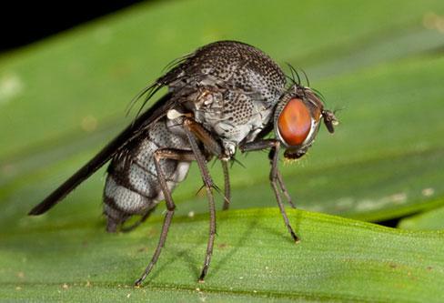 Phorid- Humpbacked Flies contro