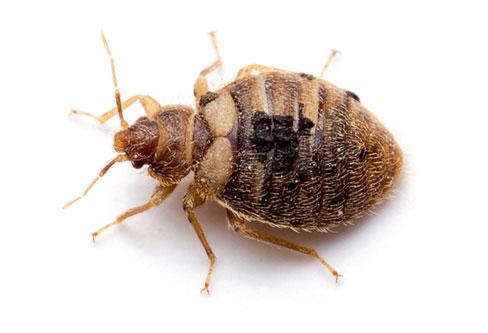 Oeciacus vicarius pest control