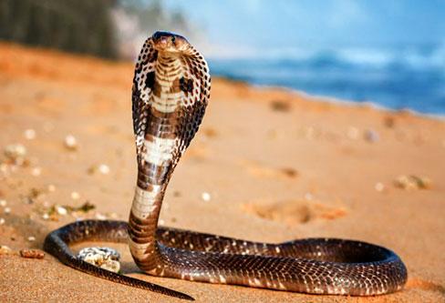 King Cobra catcher