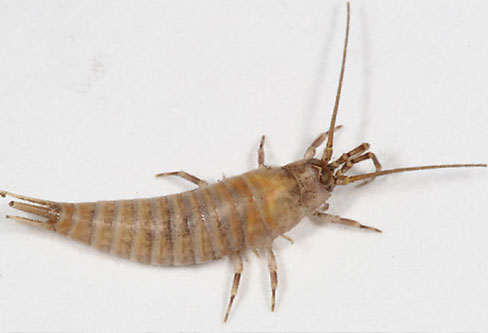 Bristletail Silverfish