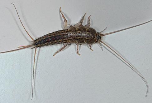 Four-lined Silverfish control