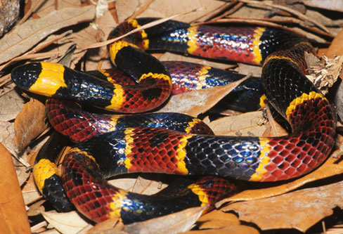 Eastern Coral Snake pest control