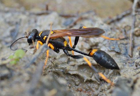 Mud Dauber Wasp control