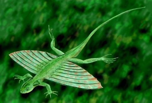 Gliding Lizard (flying lizard)