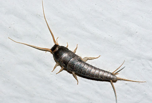 Common Silverfish control