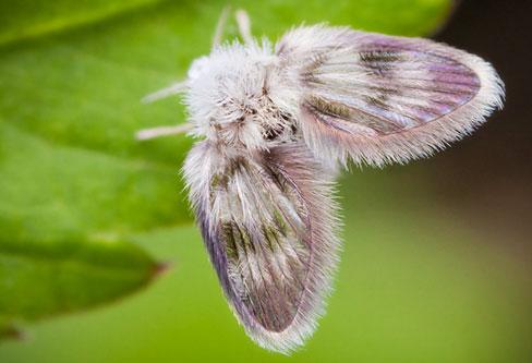 Drain Fly pest control