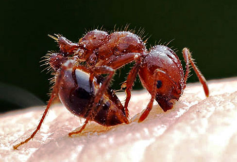 Red Imported Fire Ants pest control