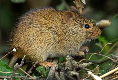 Bush Rat pest control