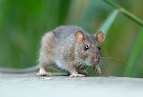 Norway Rat pest control