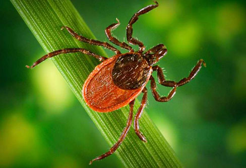 Black Legged Ticks control