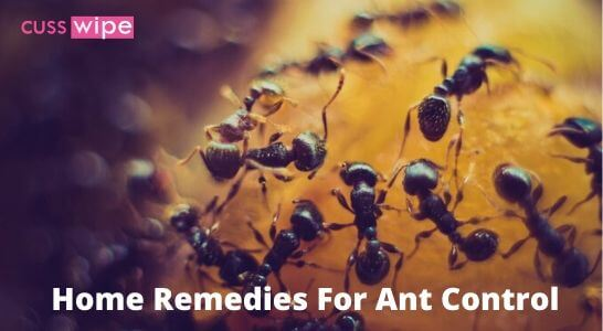 Home Remedies For Ant Control