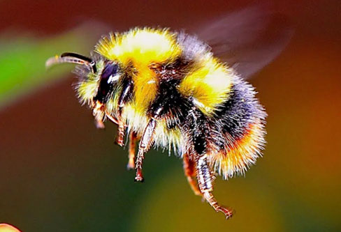 Bumble Bees pest control