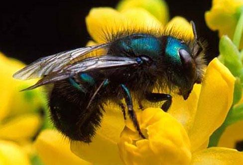 Mason Bee pest control