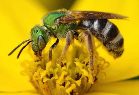 Sweat Bees pest control