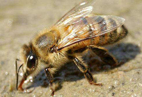 Apoidea Bee