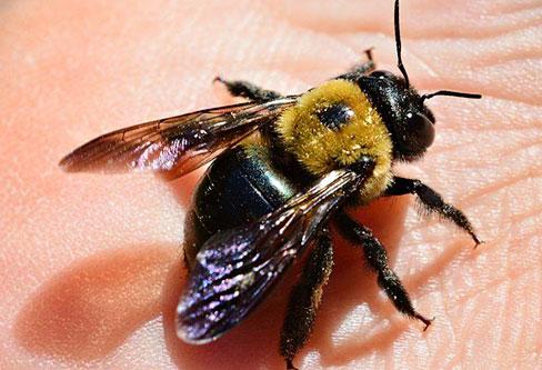 Carpenter Bees pest control service